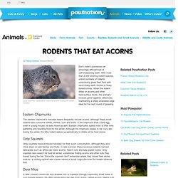 Rodents That Eat Acorns