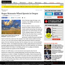 Rogue Monsanto Wheat Sprouts in Oregon