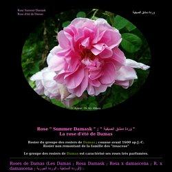 La rose Summer Damask - rose d'été de Damas - وردة دمشق الصيفية