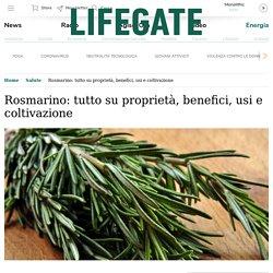 Rosmarino: proprietà curative, benefici, usi e coltivazione