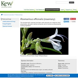 Plants & Fungi: Rosmarinus officinalis (rosemary) - Species profile from Kew
