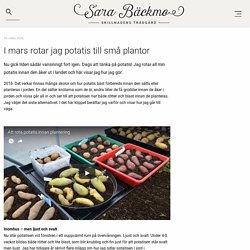 I mars rotar jag potatis till små plantor - Sara Bäckmo