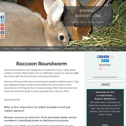 Raccoon Roundworm. Baylisascaris procyonis in rabbits