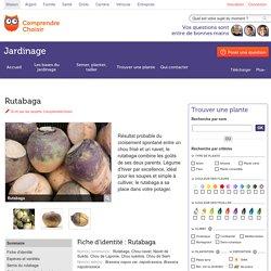 Rutabaga: planter et cultiver – ComprendreChoisir