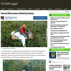 Sacred albino moose killed by hunters