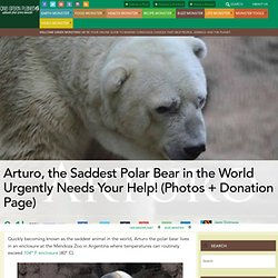 Arturo, the Saddest Polar Bear in the World Urgently Needs Your Help! (Photos + Donation Page)