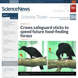 Crows safeguard sticks to speed future food-finding forays