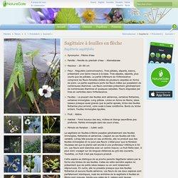 Sagittaire à feuilles en flèche, Sagittaria sagittifolia - Fleurs