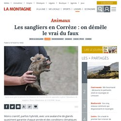 LA MONTAGNE 10/10/19 Les sangliers en Corrèze : on démêle le vrai du faux