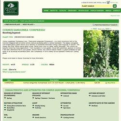 Cornus sanguinea 'Compressa' Bloodtwig Dogwood from Quackin Grass Nursery