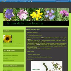 Saponaire officinale - Herbier de Lorraine