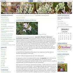 LA SAPONAIRE ou saponaria officnalis - Secret des plantes