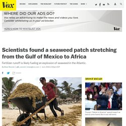 Sargassum seaweed in ocean stretches from Gulf of Mexico to Africa