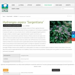 "Hydrangea aspera ""Sargentiana"""