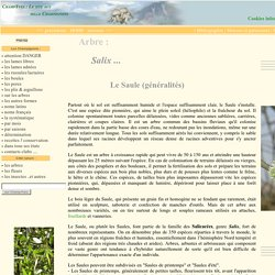 Saule blanc, Salix alba, Salix Viminalis, Salix viminalis, Saule des vanniers