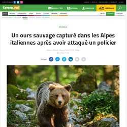 Un ours sauvage capturé dans les Alpes italiennes après avoir attaqué un policier