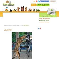 Le Savannah, tout savoir sur cette race de chat - Animal Futé