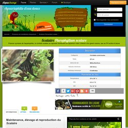 Scalaire - Pterophyllum scalare