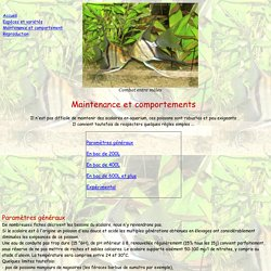 Le scalaire - Pterophyllum scalare