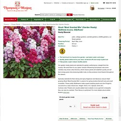 Stock 'Most Scented Mix' (Garden Ready) - Perennial & Biennial Plants