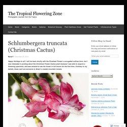 Schlumbergera truncata (Christmas Cactus)