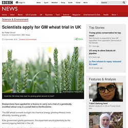 Scientists apply for GM wheat trial in UK