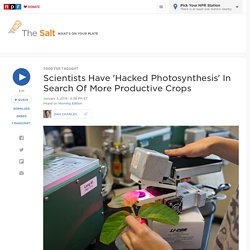 Scientists Have 'Hacked Photosynthesis' In Search Of More Productive Crops : The Salt
