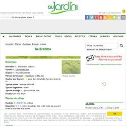 Scléranthe, Scleranthus uniflorus : conseils de culture