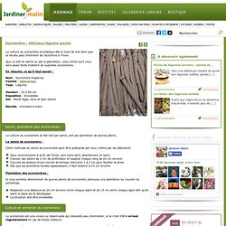 Scorsonères : culture, semis, entretien, récolte
