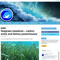 Seagrass meadows – carbon sinks and fishery powerhouses