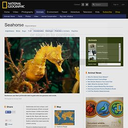 Seahorses, Seahorse Pictures, Seahorse Facts