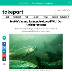 Seattle's Young Salmon Are Laced With Our Antidepressants