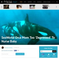 SeaWorld Orca Mom Too 'Depressed' To Nurse Baby