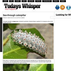 See-through caterpillar