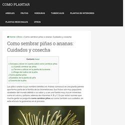 Sembrar piñas o ananas: cuidados y cosecha