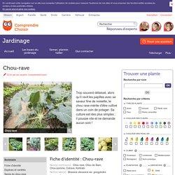 Chou-rave: semer et cultiver les choux-raves