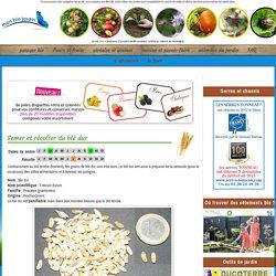 Semer et récolter du blé dur