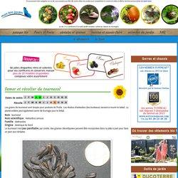 Semer et récolter du tournesol