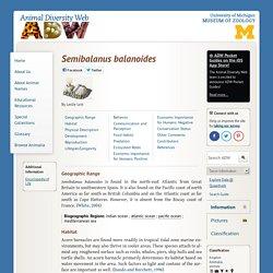 Semibalanus balanoides: INFORMATION