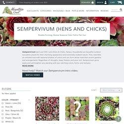 Sempervivum - Hens and Chicks