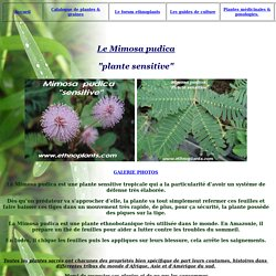 Mimosa pudica plante sensitive culture graines plantes acheter