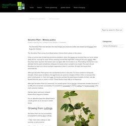 Sensitive Plant – Mimosa pudica
