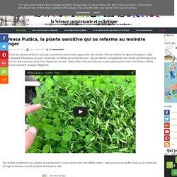 Mimosa Pudica, la plante sensitive qui se referme au moindre danger