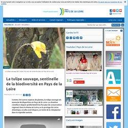La tulipe sauvage, sentinelle de la biodiversité en Pays de la Loire