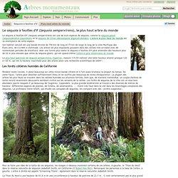 Le séquoia à feuilles d'if (Sequoia sempervirens), le plus haut arbre du monde