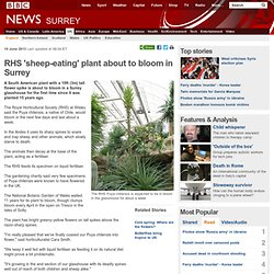 RHS 'sheep-eating' plant about to bloom in Surrey