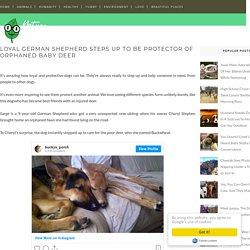 Loyal German Shepherd Steps Up to Be Protector of Orphaned Baby Deer