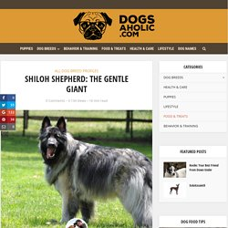 Shiloh Shepherd: Easy-to-Follow Guide, Recommendations from Experts