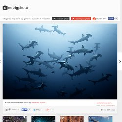 Shoal of Hammerhead Sharks