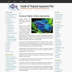 Siamese Fighter (Betta Splendens) | The Fish Guide